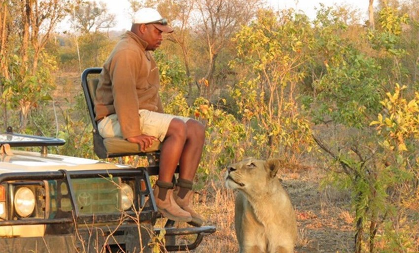 Ranger caught in extremely close encounter with lion