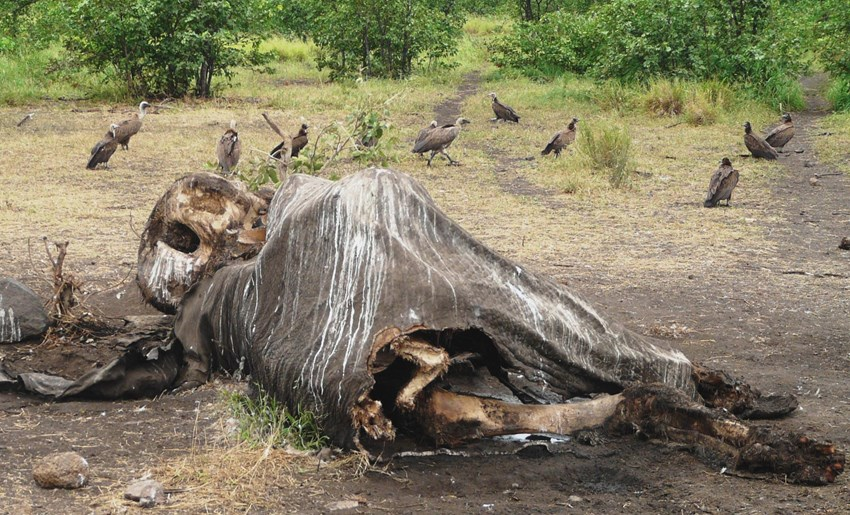 Elephant poaching on the rise in the Kruger