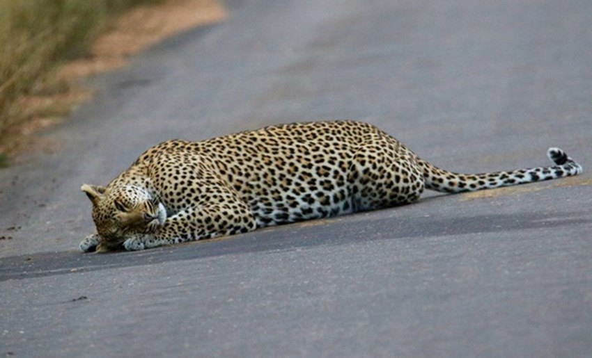 Leopard gives new meaning to catnap....only in Kruger!