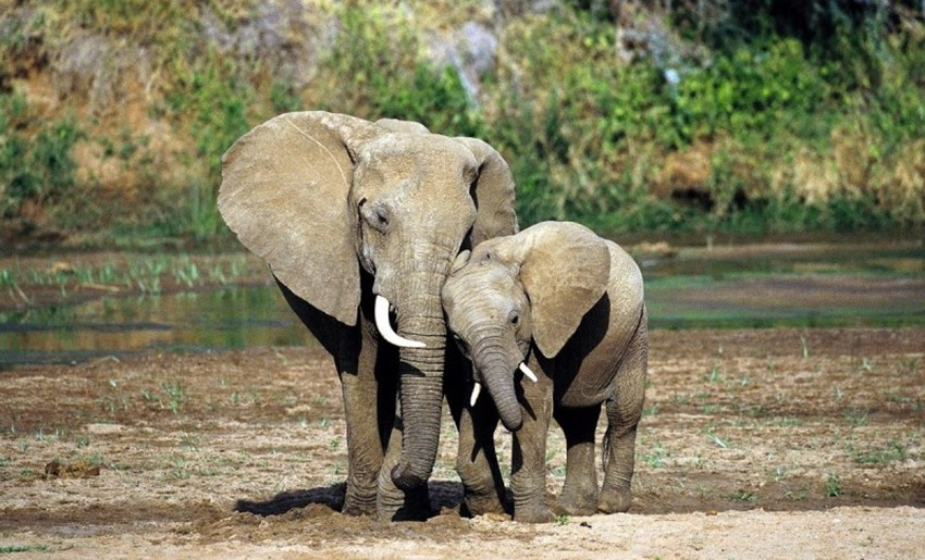 China's Ivory Ban Gives Hope for Elephants in 2017